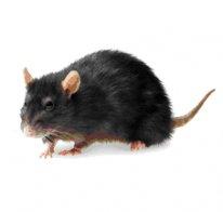 academic pest control rat