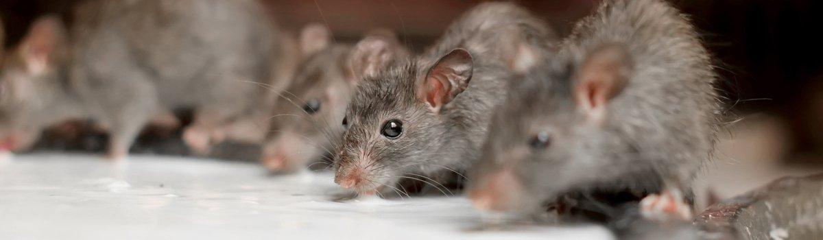 academic pest control rats drinking milk
