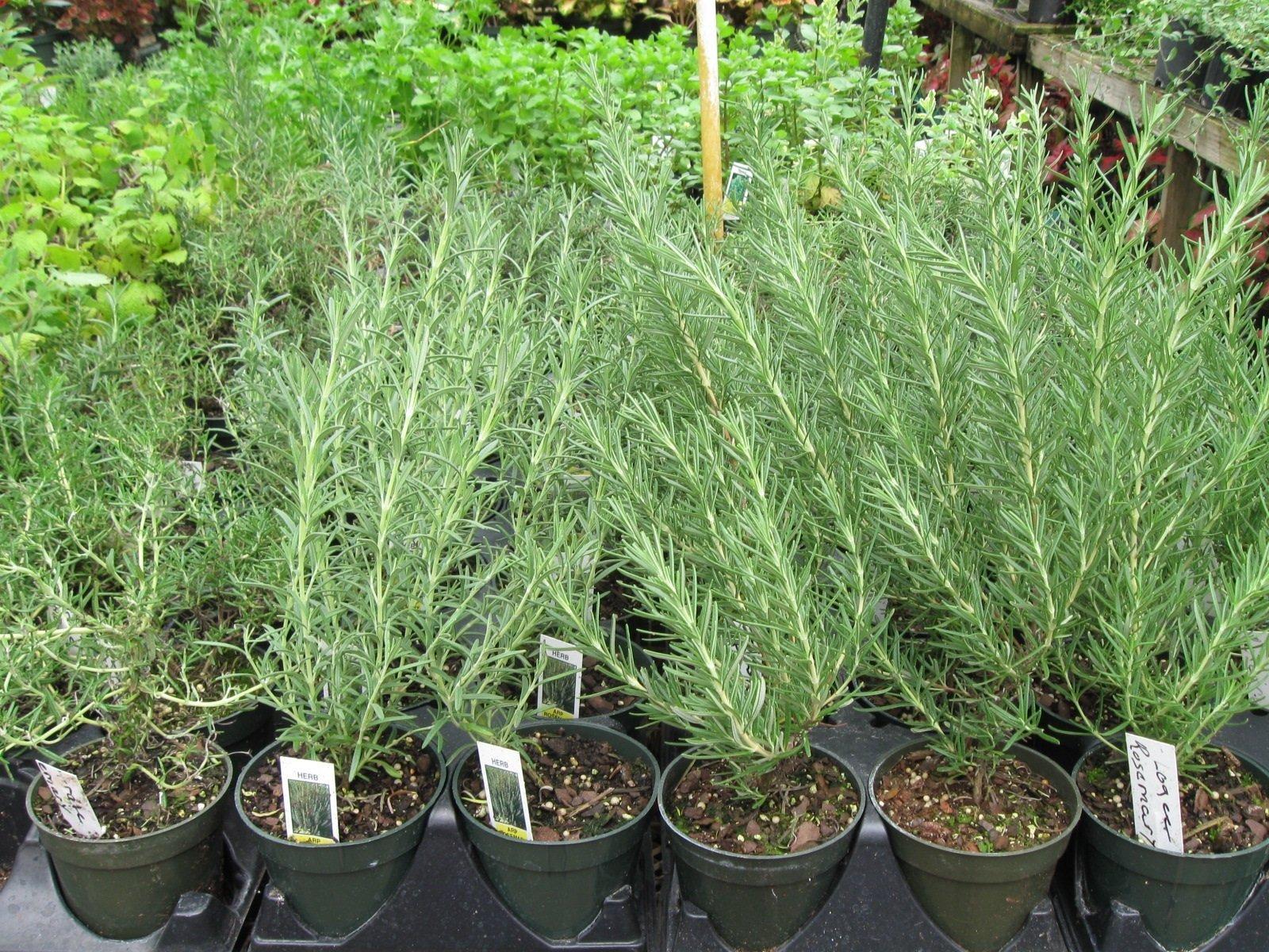 Herbs | Myers Greenhouse | Winston-Salem, NC & Clemmons, NC