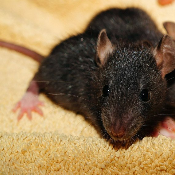 rat staring into your soul