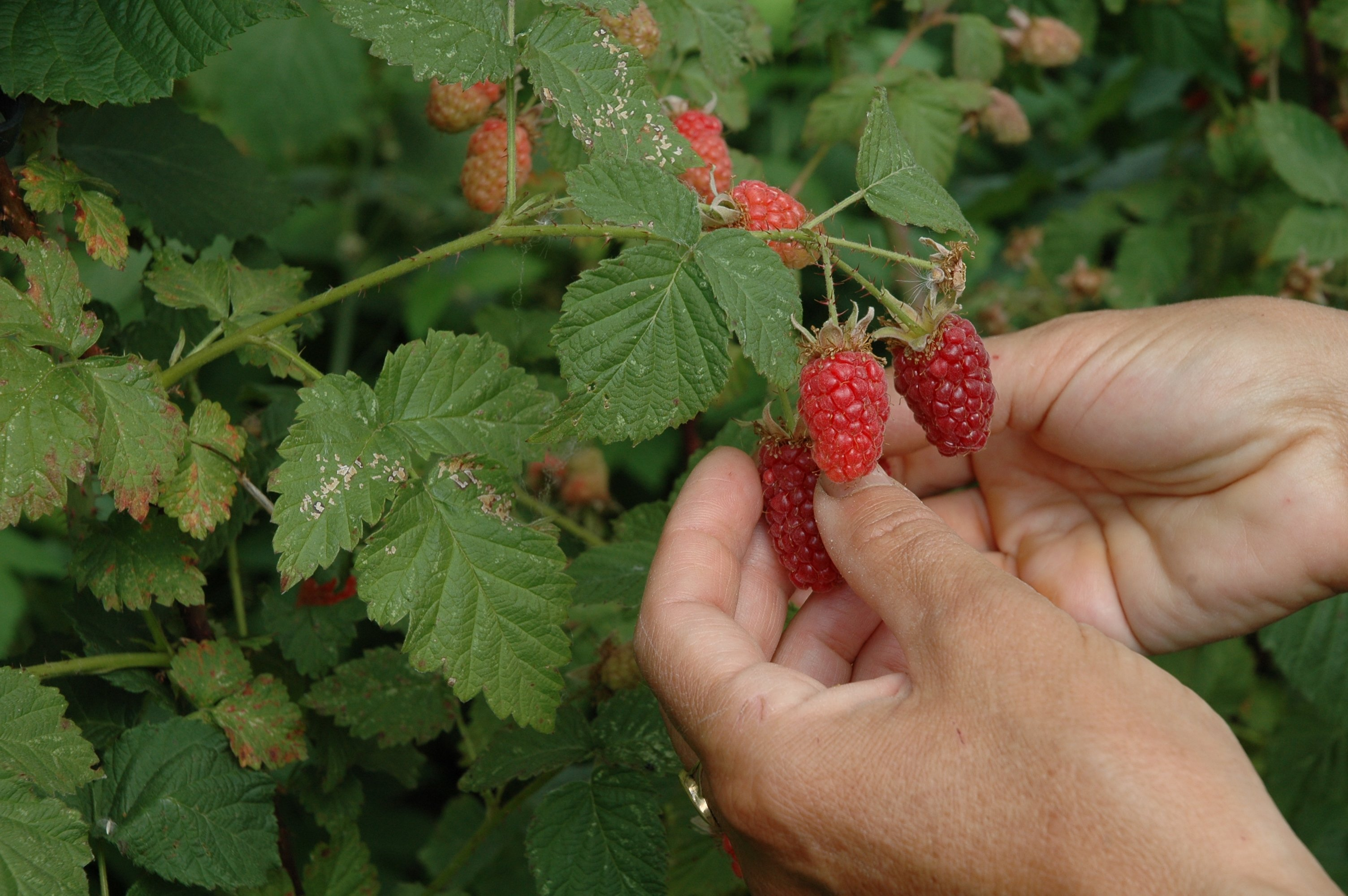 hands picking raspberries