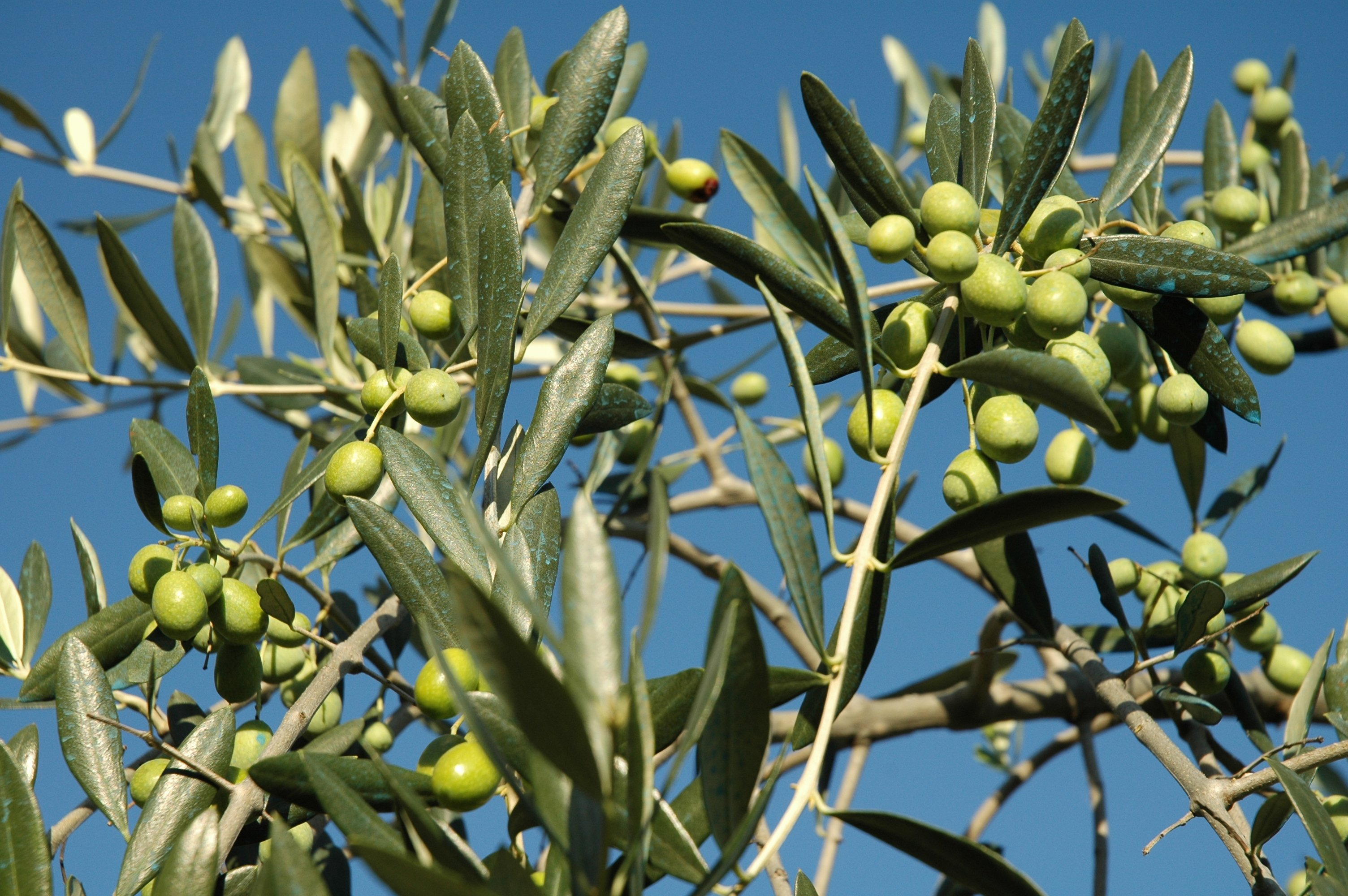 rami di un albero di olive