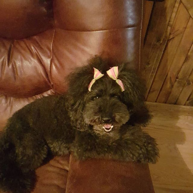 dog on couch well groomed