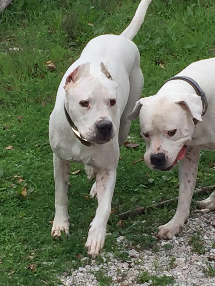 due pitbull bianchi che giocano