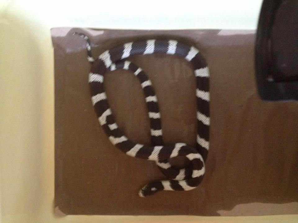 un serpente bianco e nero