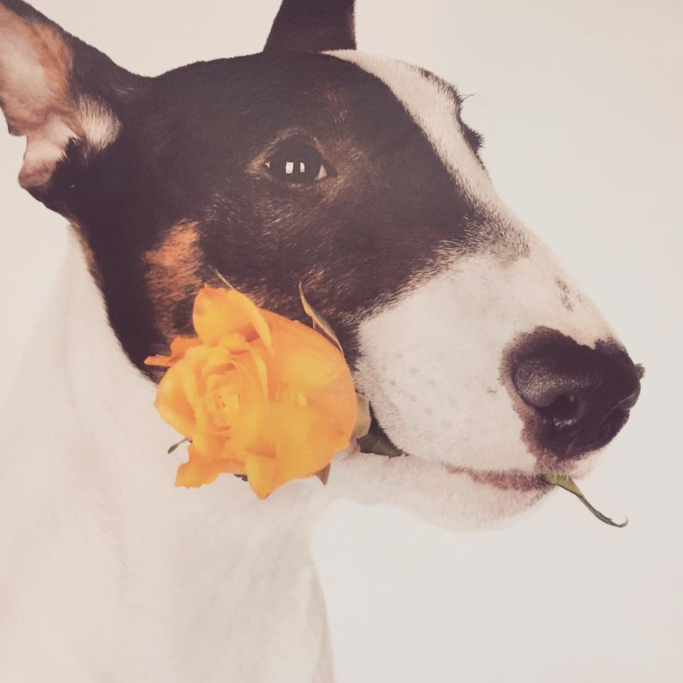 dog holding a rose in its mouth