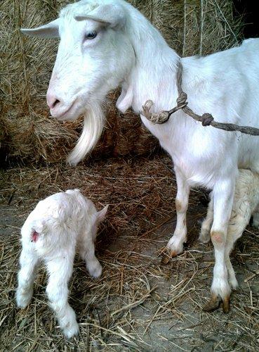 capretta e agnellino