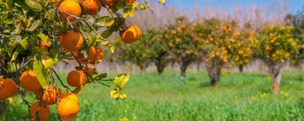 Vendita_piante_da_frutto