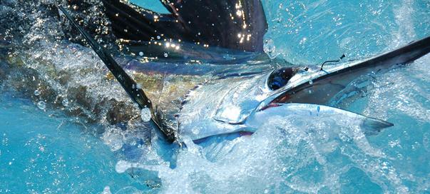 Hook Marlin in the Florida Keys