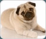 Pug with bandage on paw