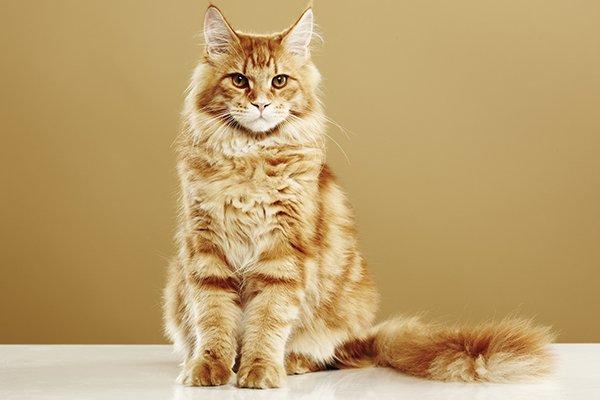 un gatto di razza Main Coon color arancione e bianco