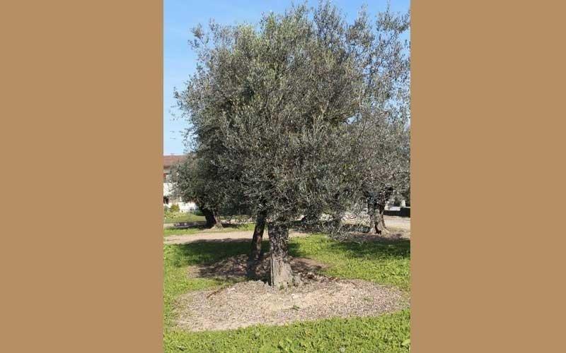 Vendita alberi secolari