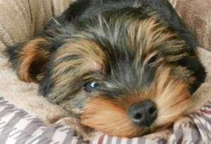 10 week old Yorkie puppy
