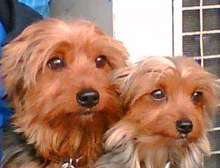senior Yorkie dogs