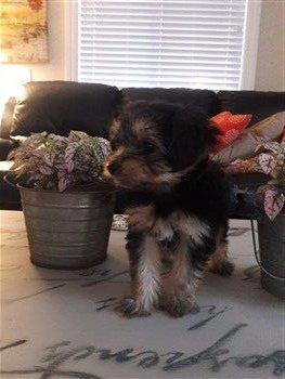 Yorkshire Terrier posing, 8 weeks old