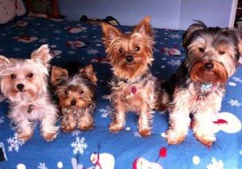 four Yorkie dogs
