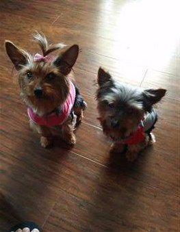 two Yorkies, boy and girl