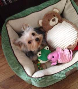 Yorkie 5 month old female