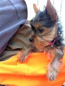 side view of Yorkie