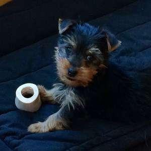 8 week old Yorkshire Terrier