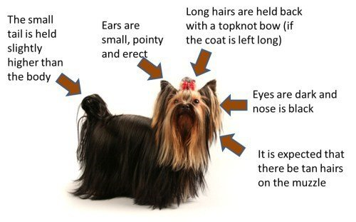 Areas of Yorkshire Terrier body