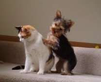 Yorkie and cat