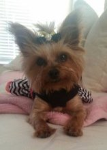 8 year old female Yorkshire Terrier