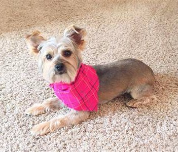 Yorkie with shaved coat