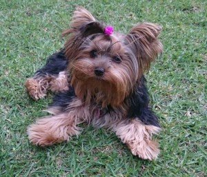 Yorkie 7 months old