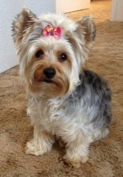 2 year old Yorkie