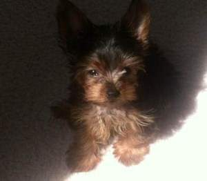 little 10 month old Yorkie