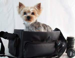 Yorkshire Terrier posing for camera