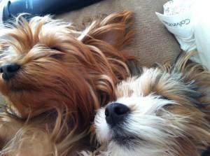 Yorkies sleeping together