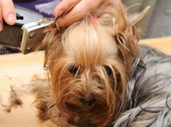 trimming a Yorkshire Terrier