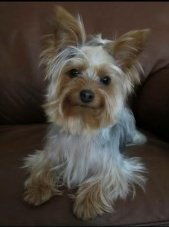 5 year old female Yorkie