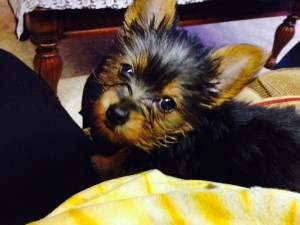 little black and tan Yorkie