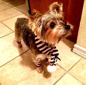 Yorkie 2 years old