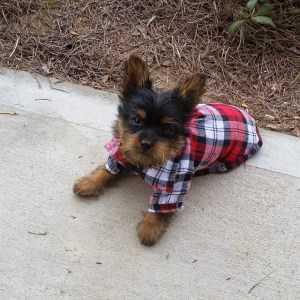 11 week old Yorkie puppy