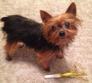 8 year old female Yorkie