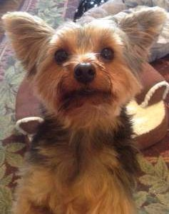 Yorkshire Terrier 2 year old female