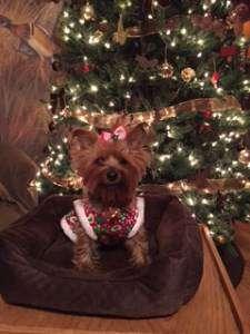 Yorkie at Christmas time