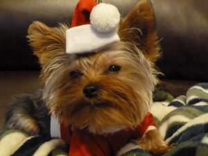 3 year old female Yorkie dressed as Santa