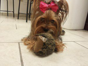 18 month old Yorkie dog