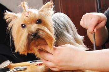 grooming a Yorkie