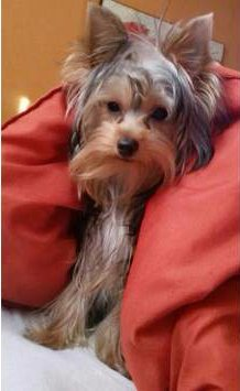 1 year old female Yorkshire Terrier