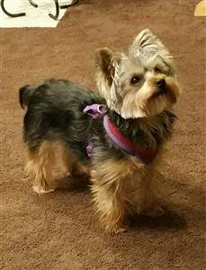 Yorkie in harness