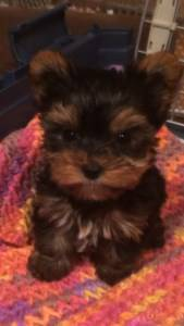 1 year old small Yorkshire Terrier
