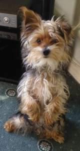 6 month old Yorkie puppy