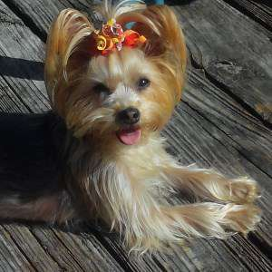2 year old Yorkie female with bow in hair