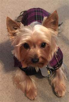 yorkie with vest on